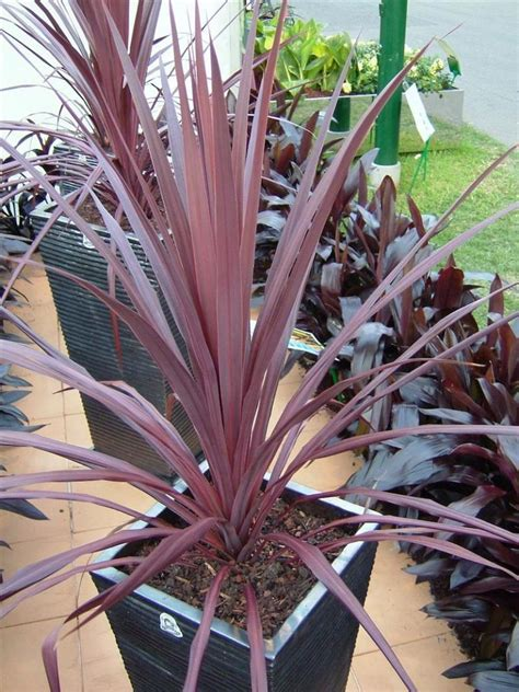 cordyline black knight   plants garden supplies