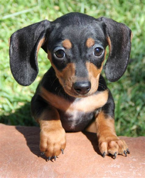 miniature dachshund puppies for sale in ga miniature dachshund puppies for sale in colo tug yurhart