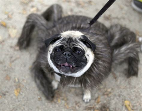 wars pug costume a pug in a tarantula costume because why not wars pug parade pictures