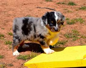 australian shepherd colors color country aussies miniature australian shepherd