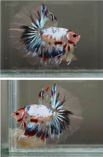 betta fish changing color 17 best images about fish on betta fish tank