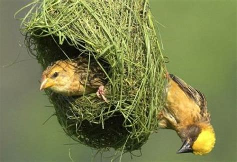 why do birds build nest why dowhy do