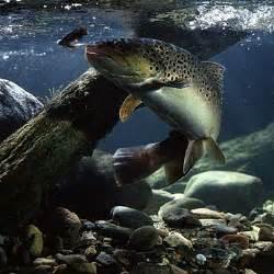 brown trout swittersb amp exploring