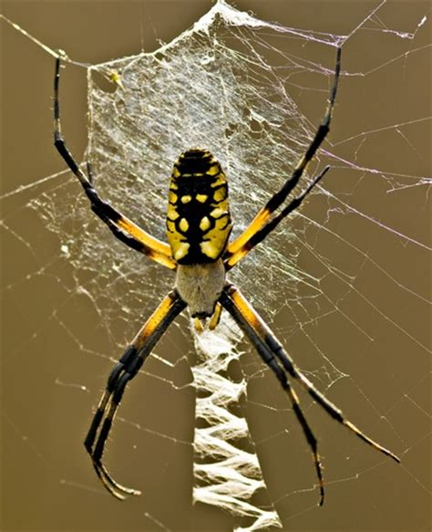 Garden Spider National Geographic Black And Yellow Argiope Commonly Called Garden Spider