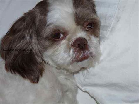 shih tzu vomiting and diarrhea foods poisonous to dogs