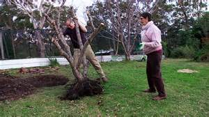 moving fruit trees how to move a fruit tree abc south east nsw
