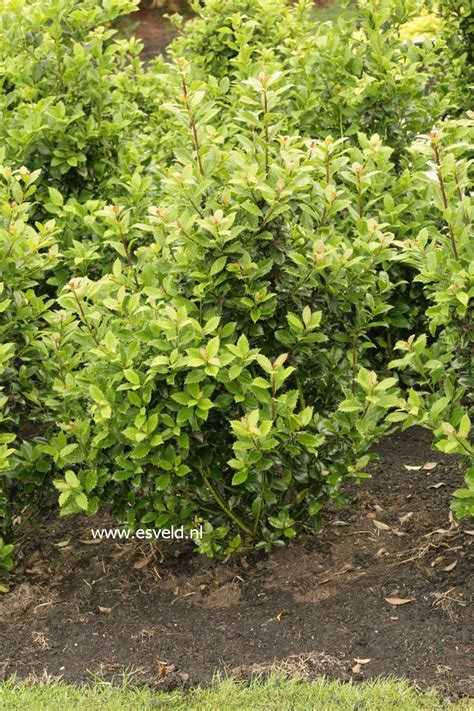 ilex meserveae heckenpracht fast growing very hardy evergreen great for hedges mariedal