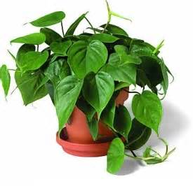 list of poisonous house plants toxic house plants