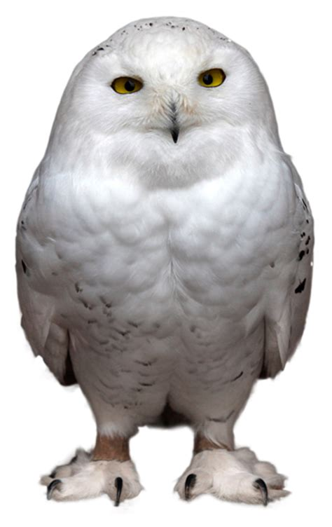 Decorative Owls white owl transparent png picture gallery yopriceville