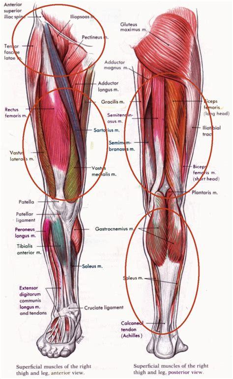 hamstring muscles diagram anatomy of hamstring human anatomy diagram
