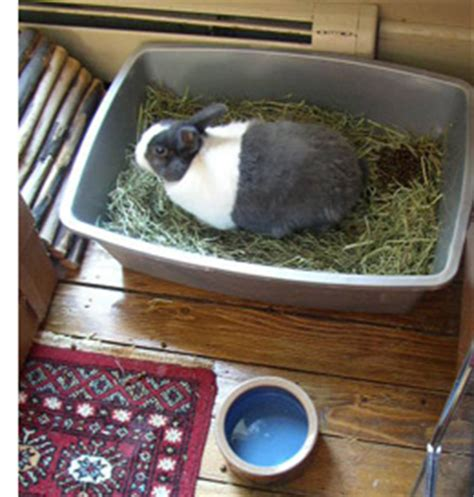 house training a rabbit living with a house rabbit litter training