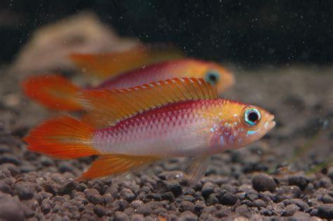 Ikan Apisto Agassizi Gold Apistogramma Agassizi Gold cyprinidae apistogramma agassizi