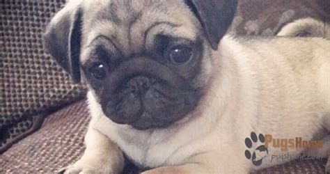 pug puppies for sale indiana guidance about pug puppies for sale in arizona az