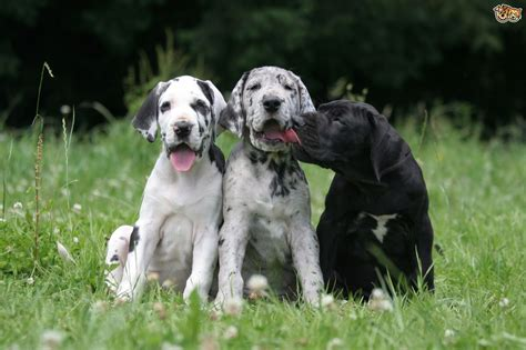 feeding a great dane puppy great dane breed information buying advice photos and facts pets4homes