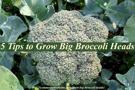 tips to grow hard to propagate plants 5 tips to grow big broccoli heads