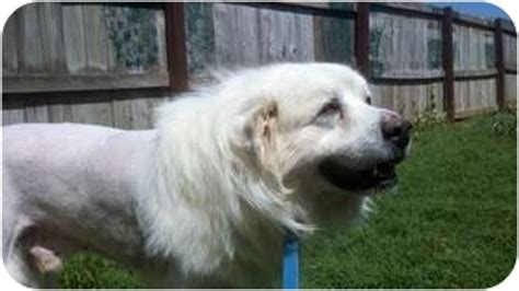 great pyreness hair cuts tennessee great pyrenees rescue animals for adoption