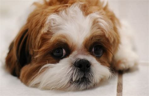 how to trim shih tzu all about shih tzu grooming and costs petcarepricing