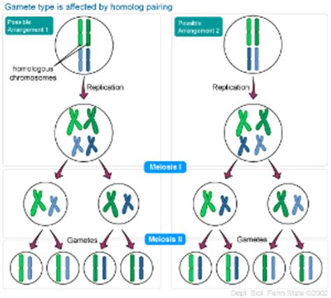 2n 6 meiosis diagram heredity and cycles biol110summerwoodward confluence