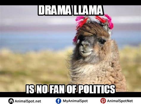 Drama Llama Meme - llama memes