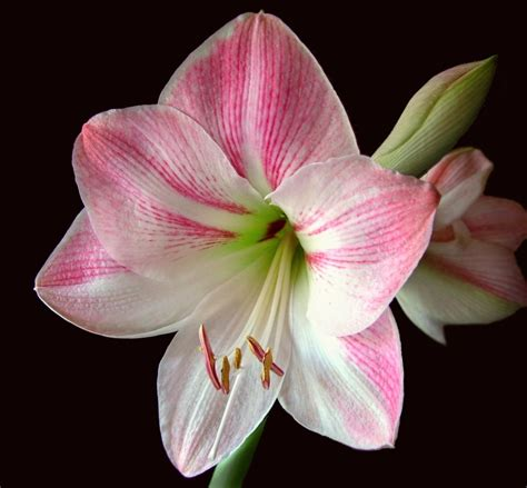 caring for amaryllis in the winter continuous amaryllis