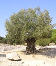 olive tree alert bacterium from the usa hits italy s olive trees