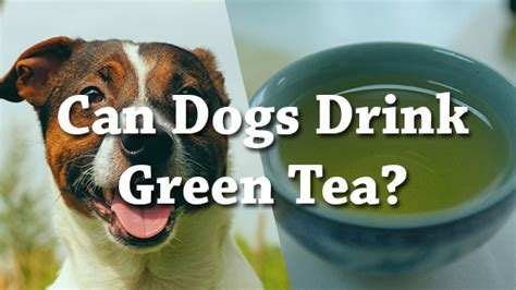 can dogs drink tea can dogs drink green tea pet consider