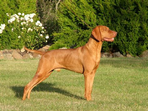 Vizsla Shedding by Vizsla Temperament Personality Breeds Picture