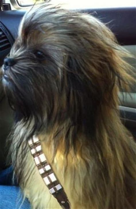 yorkie chewbacca costume chewbarka hair cut for yorkies duckies costume lol cool animals