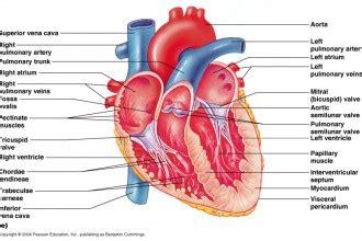 4 fetal pig dissection lab simulator in organ biological
