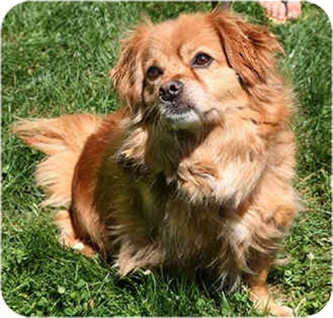 cavalier king charles spaniel pomeranian mix cavalier king charles spaniel pomeranian mix cavapom puppy breeds picture