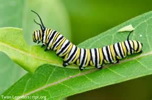 the meditative gardener monarch butterfly caterpillars