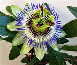 Hardy Climbing Plants - how to grow hardy passion flowers from seed the garden of eaden