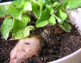 how to grow sweet potatoes the garden of eaden