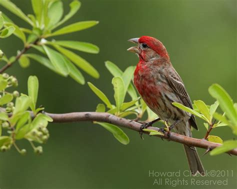how do house finches live 28 images house finch headed