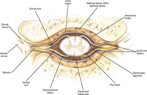 transverse section of spinal cord showing meninges general anatomy of the spinal cord basicmedical key