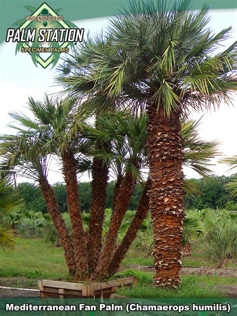 european mediterranean fan palm groundworks mediterranean fan palm
