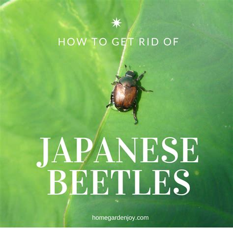 bugs asian beetles identification prevention