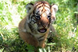 Tigers still have enough habitat to bounce back mnn mother nature