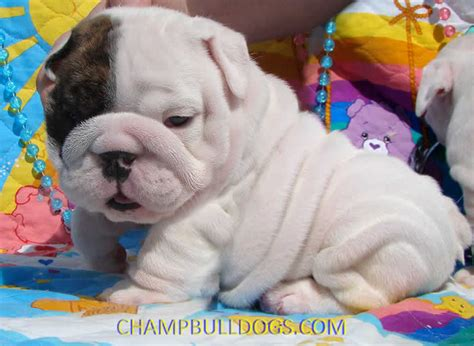 baby puppies for sale baby bulldogs car interior design