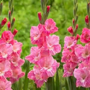 Idaho State Flower - gladiolus pink parrot longfield gardens