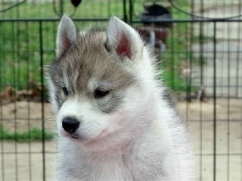 how much are siberian husky puppies 40 siberian husky puppies pictures and fur
