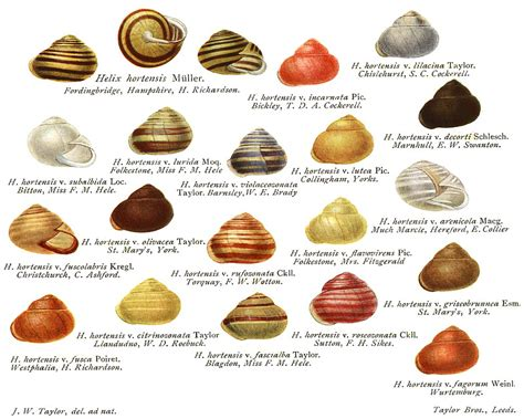 types of garden snails variations of the garden banded snail cepaea hortensis