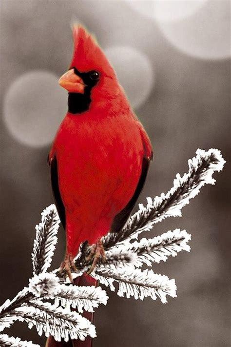 cardinal quot in winter quot cardinals winter birds http