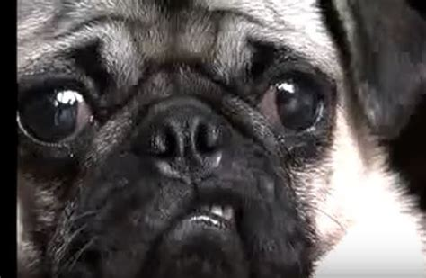 the pug song max the pug sings us a song when you hear it oh my goodness