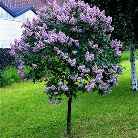 Lilac Tree Information Lilac Tree Persian