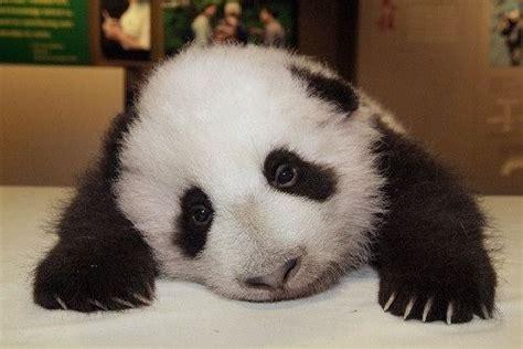 Sad Panda Meme - sad panda know your meme