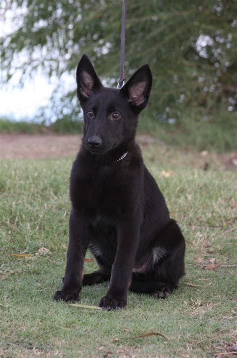 black german shepard puppy black shepherd puppy www pixshark images galleries with a bite