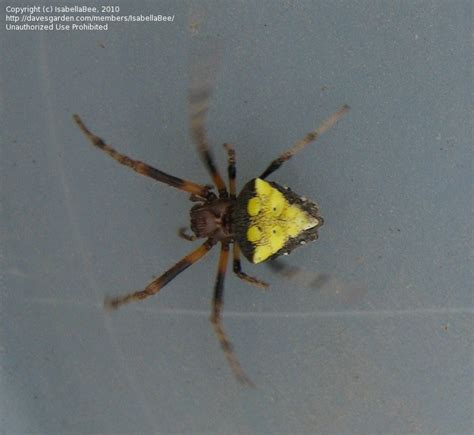 yellow pattern back spider bug pictures arrowhead spider verrucosa arenata by