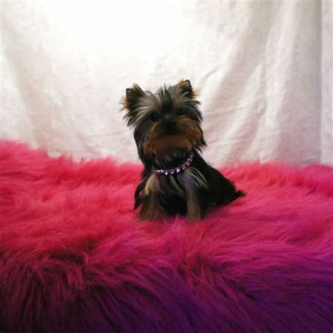 how much for teacup yorkie 25 best ideas about micro teacup yorkie on micro yorkies yorkie teacup