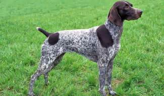 all about german shorthaired pointer about pet